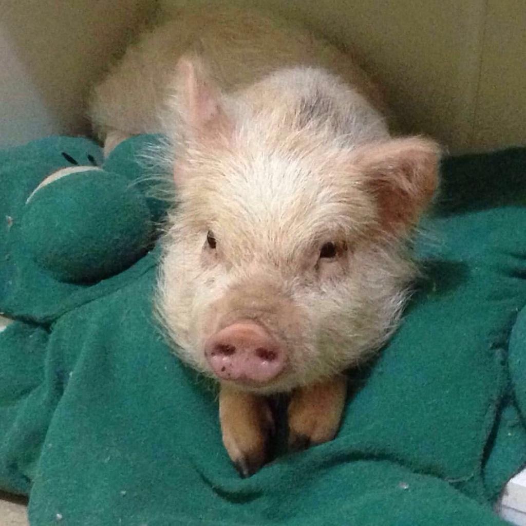 Mini pig 1
