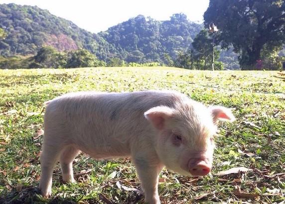 Mini pig capa